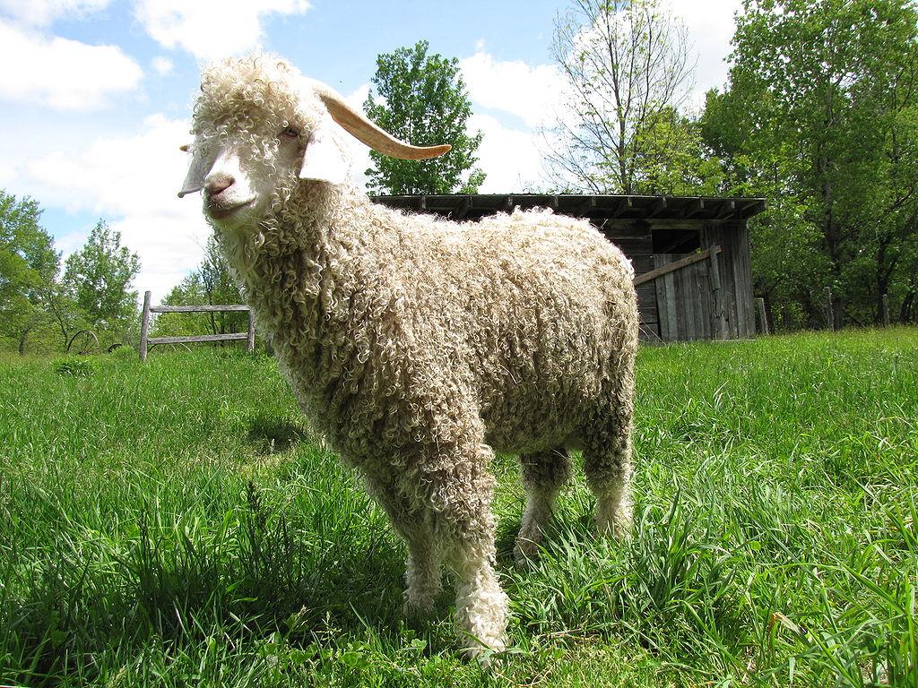 Chèvre angora, à l'origine de la laine mohair